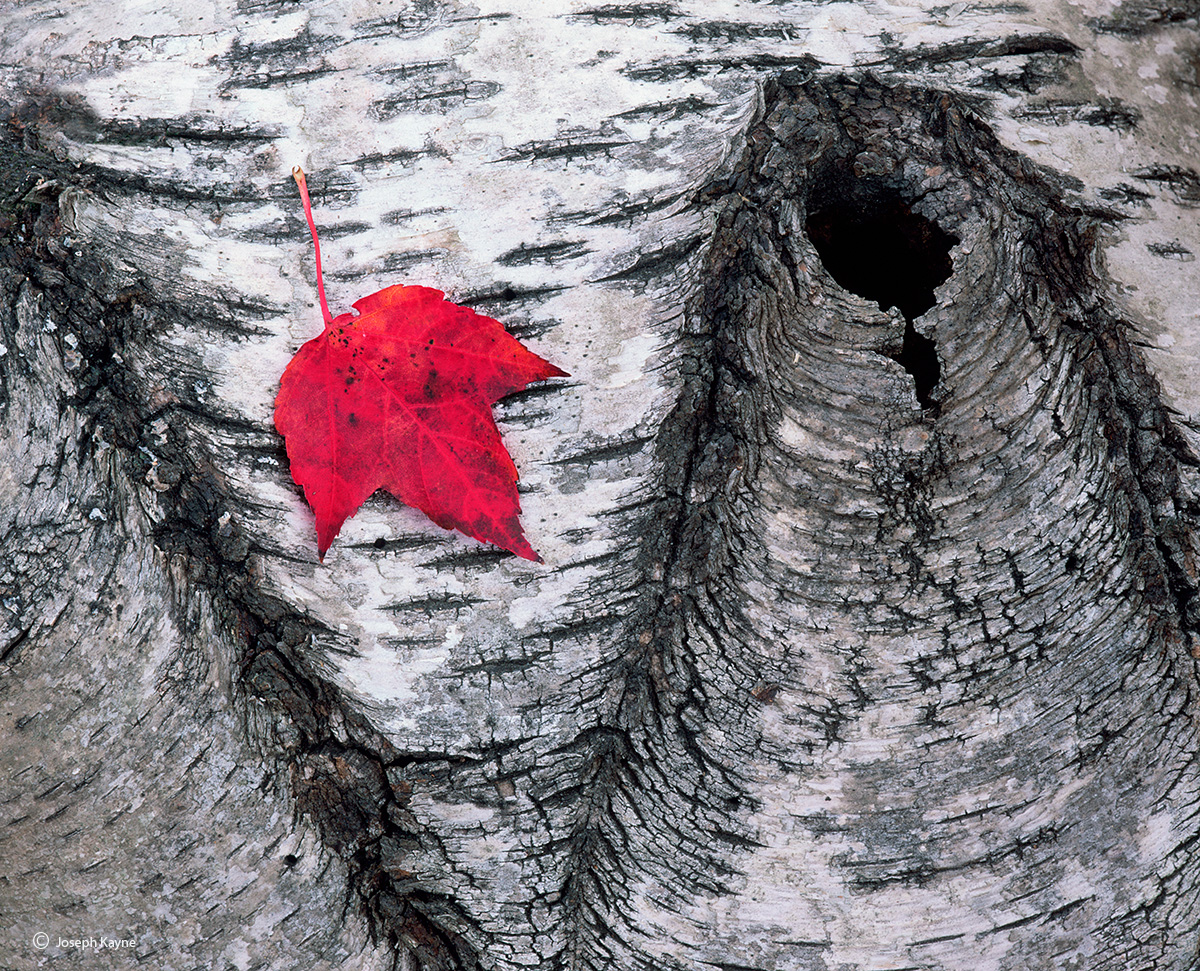 lone,maple,leaf,maine,forest,floor, photo