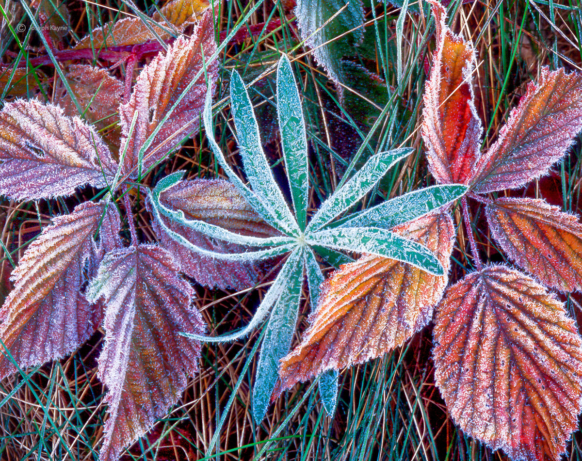 frost,laden,lupine,vine,maine,autumn, photo
