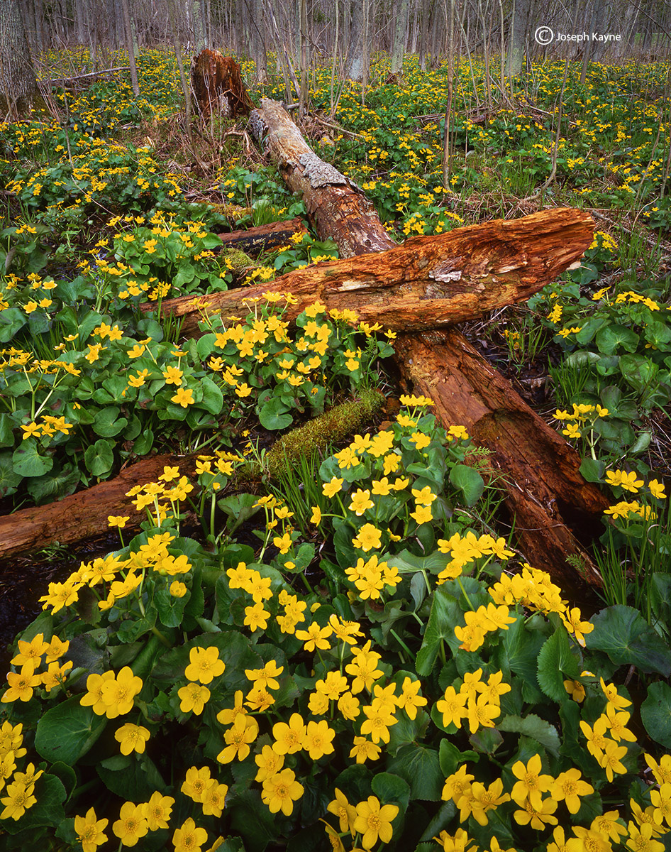 marigold,forest,wisconsin,northwoods,wildflowers, photo