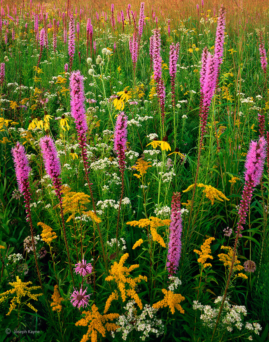 prairie,gift,illinois,wildflowers, photo