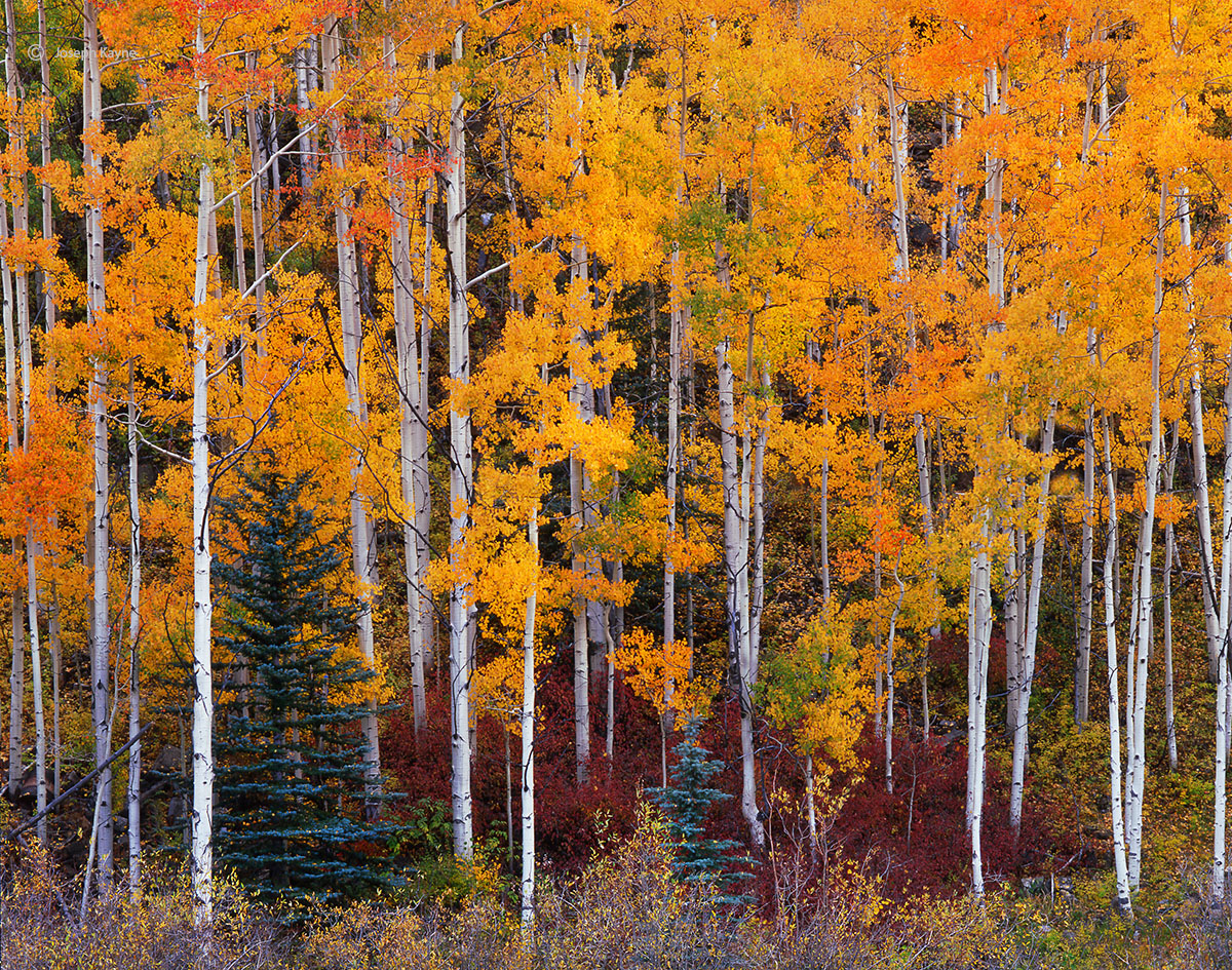 aspen,conifers,colorado,san,juan,mountains,autumn, photo