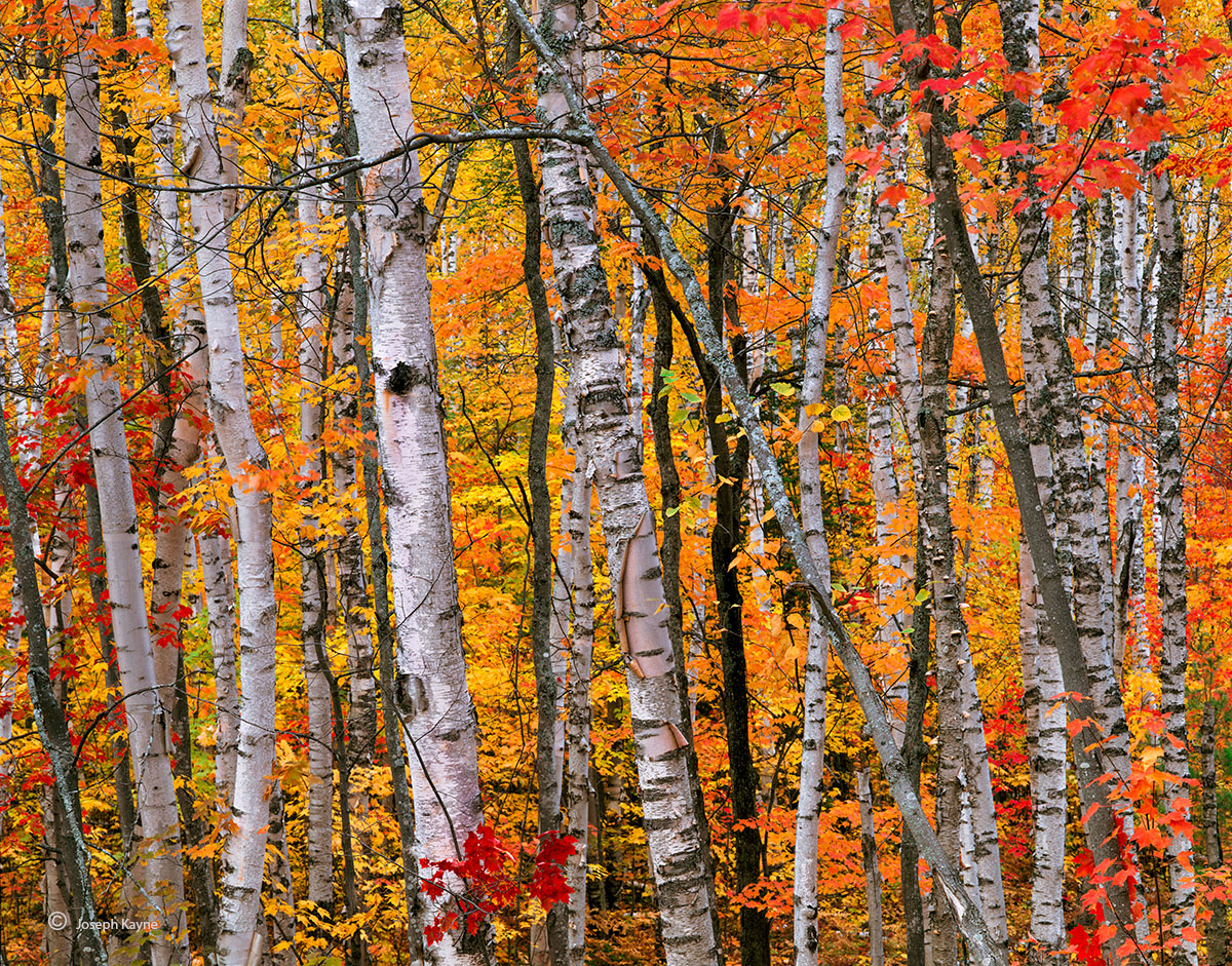 birch,forest,michigan,northwoods,autumn, photo