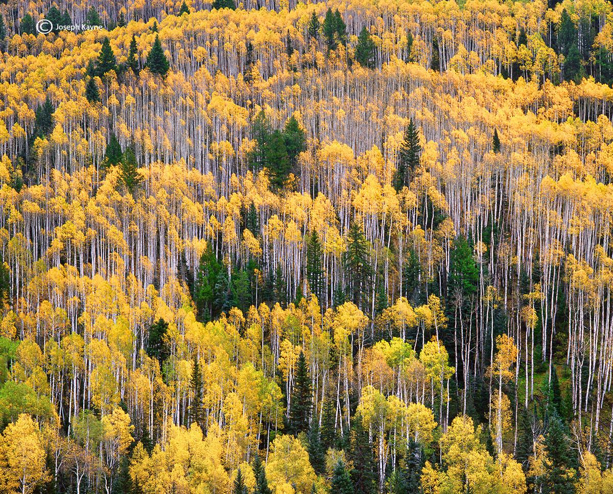 Aspen Trees, Autumn