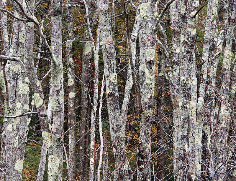 lichen,forest,maine, photo