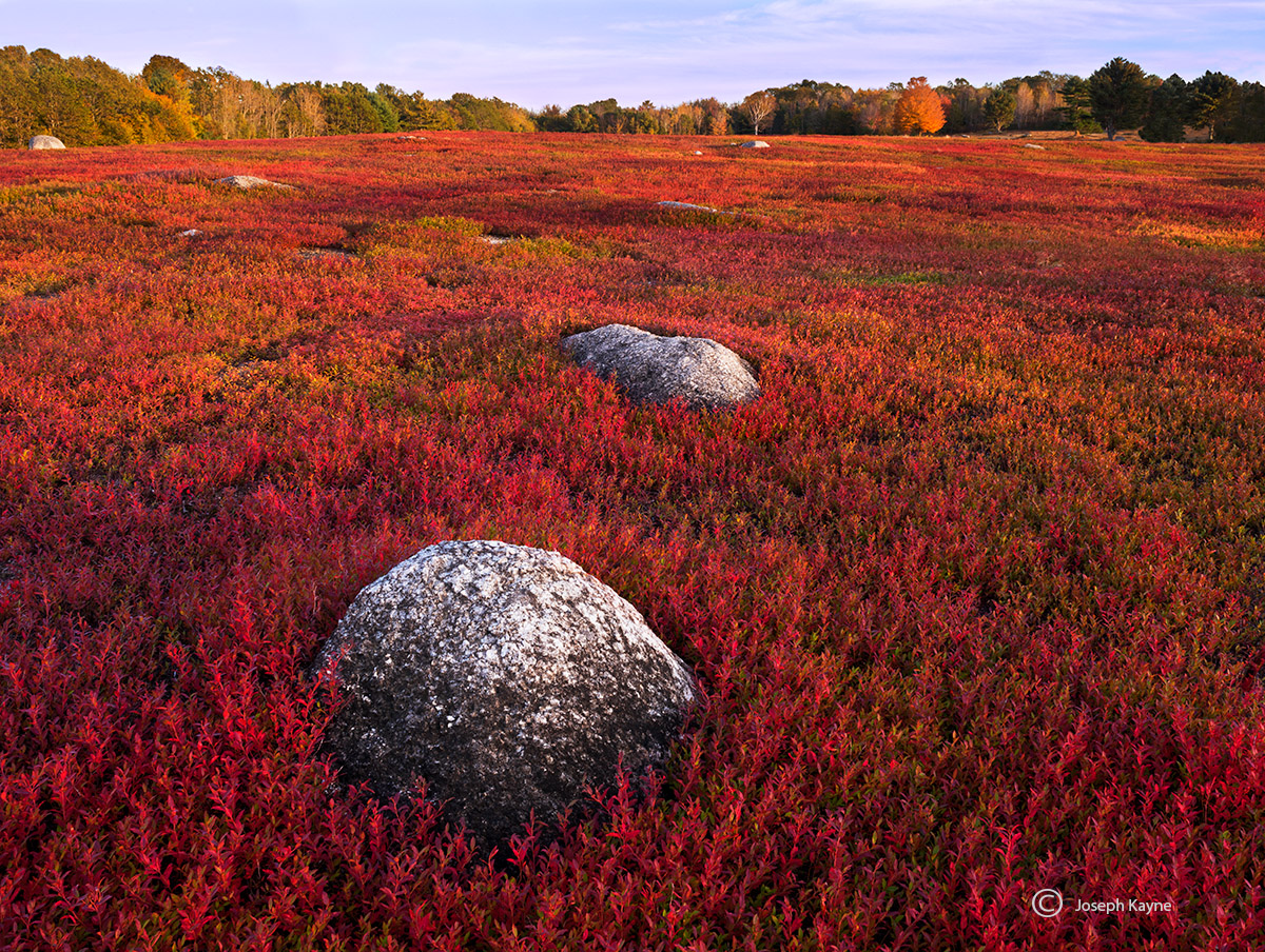 wild,blueberry,field,maine,autumn, photo