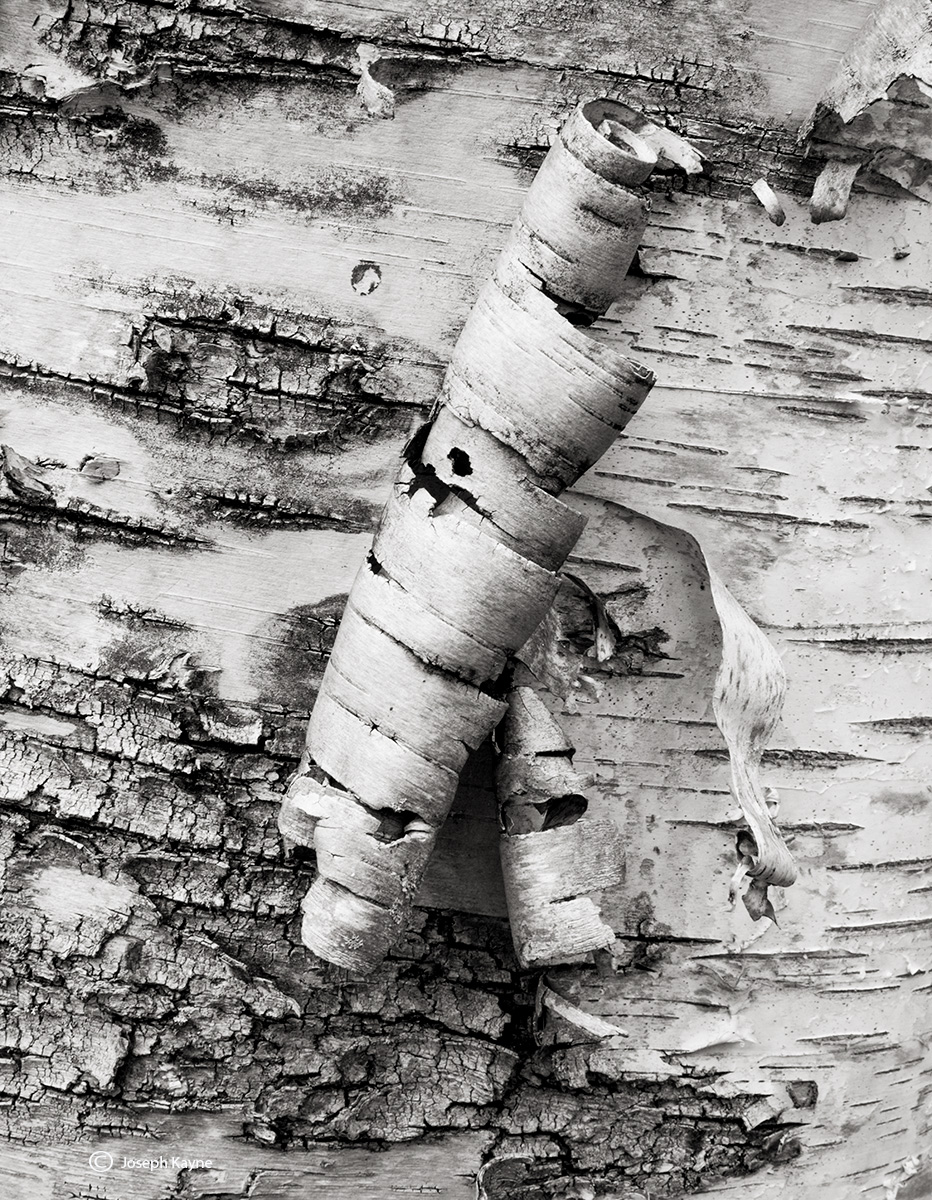 peeling,birch,tree,acadia,national,park,maine, photo