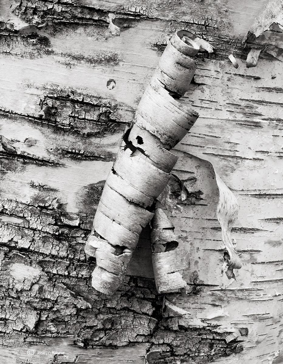 peeling,birch,tree,acadia,national,park,maine, photo