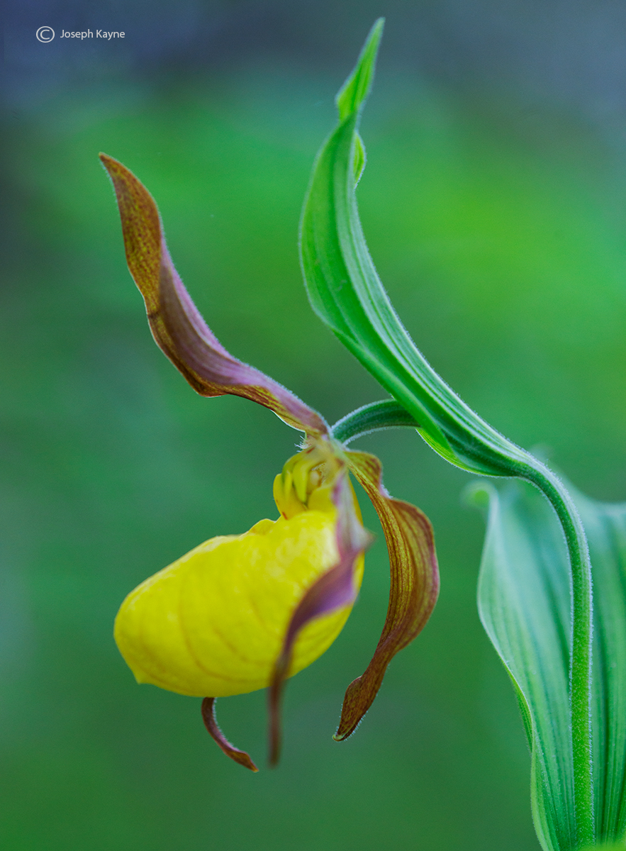 wildflower,yellow,lady,slipper,orchid,door,county,wisconsin, photo