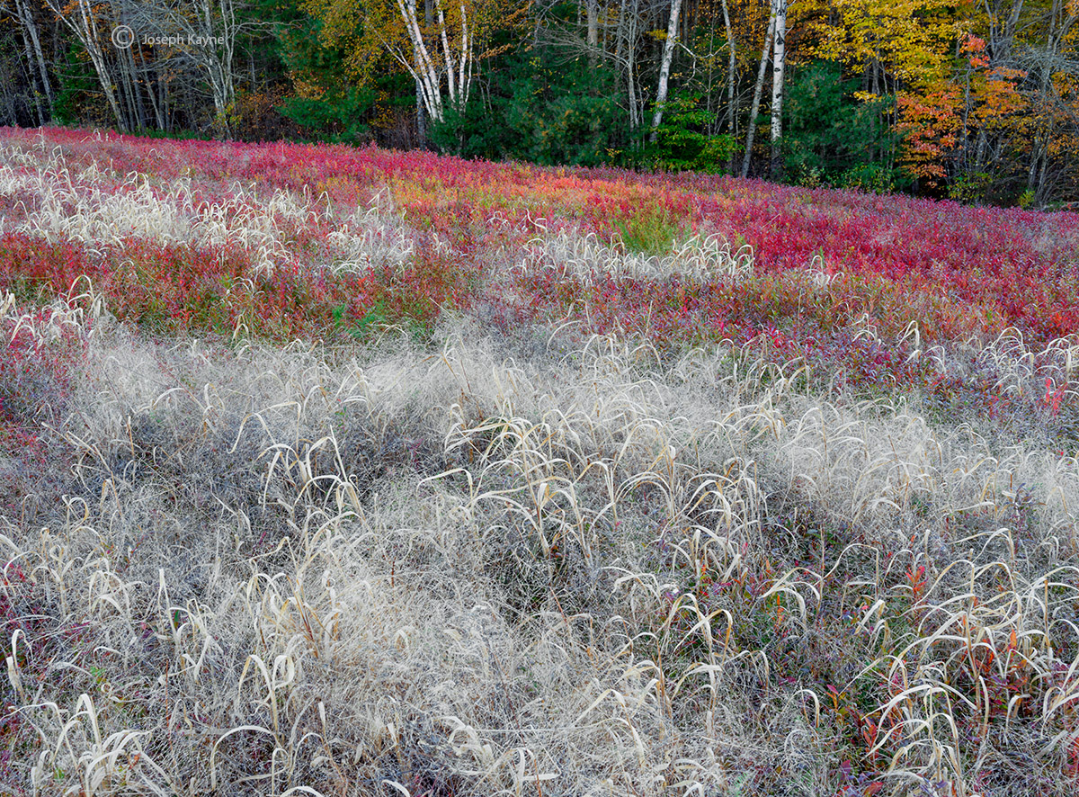 autumn,grass,wild,blueberry,field,maine, photo