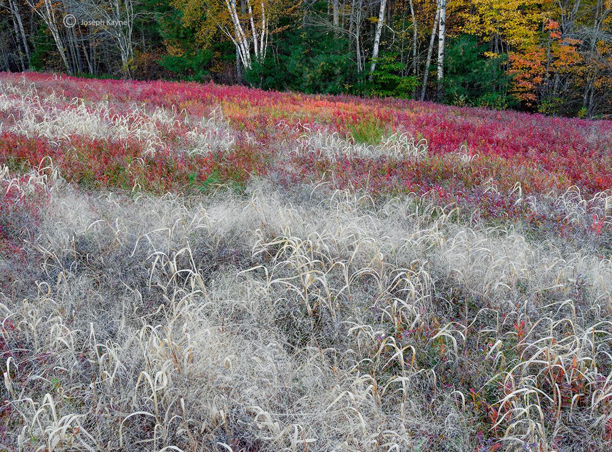 autumn,grass,wild,blueberry,field,maine, photo