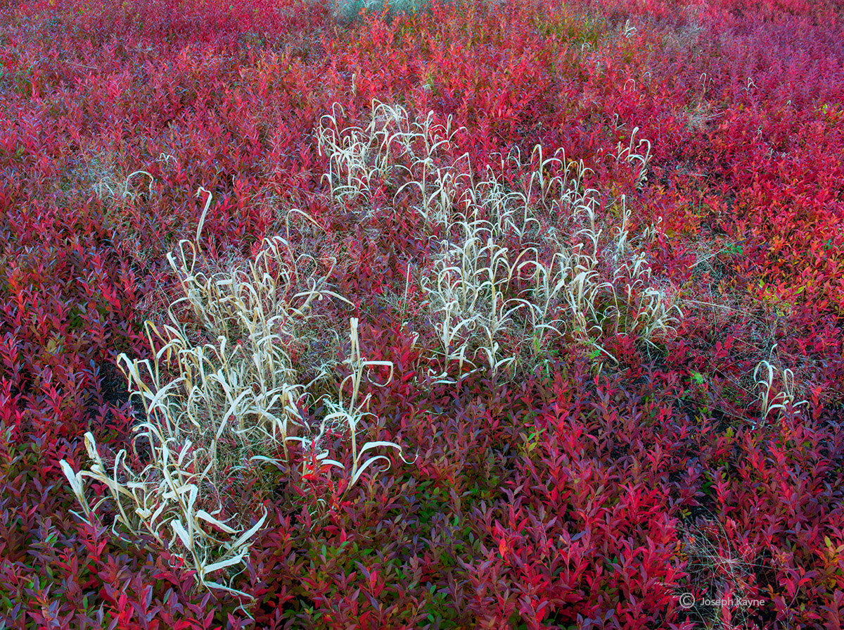 autumn,blueberries,and,grasses,maine, photo