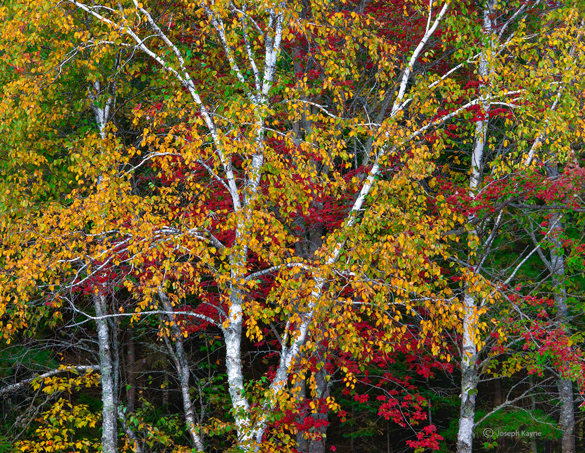 acadia,national,park,maine,maple,birch,trees,autumn, photo