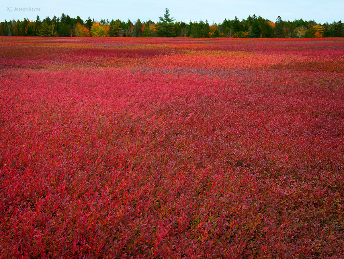 autumn,wild,blueberry,field,maine, photo