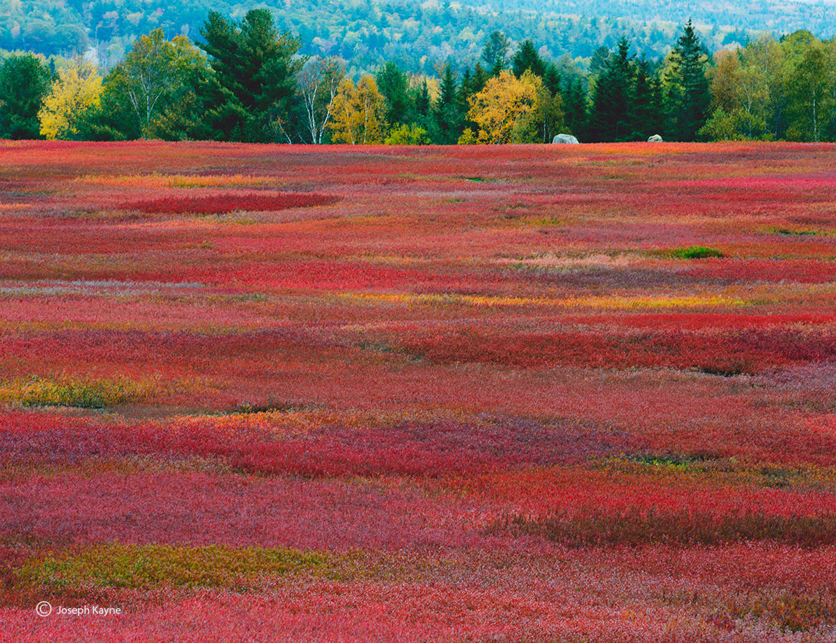crimson,fall,blueberry,field,maine, photo
