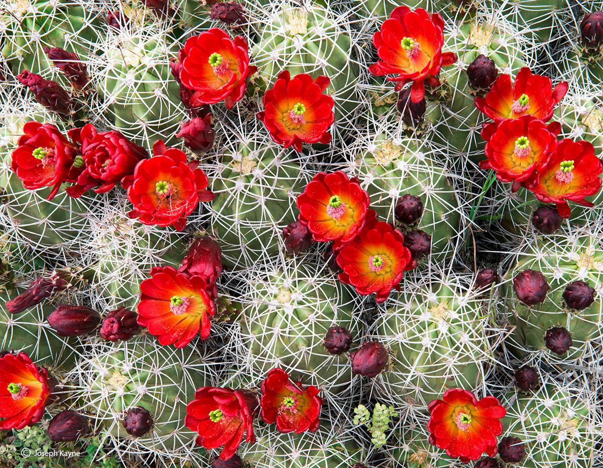 spring,bloom,claret,cup,cactus,colorado,plateau, photo