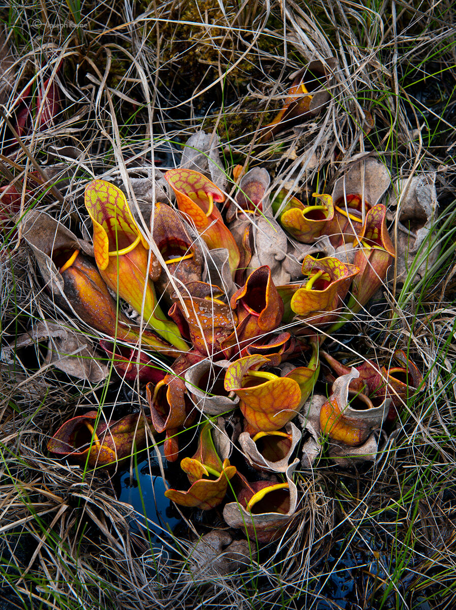 Rebirth,pitcher,plants,boreal,forest,northwoods,wisconsin,bog, photo