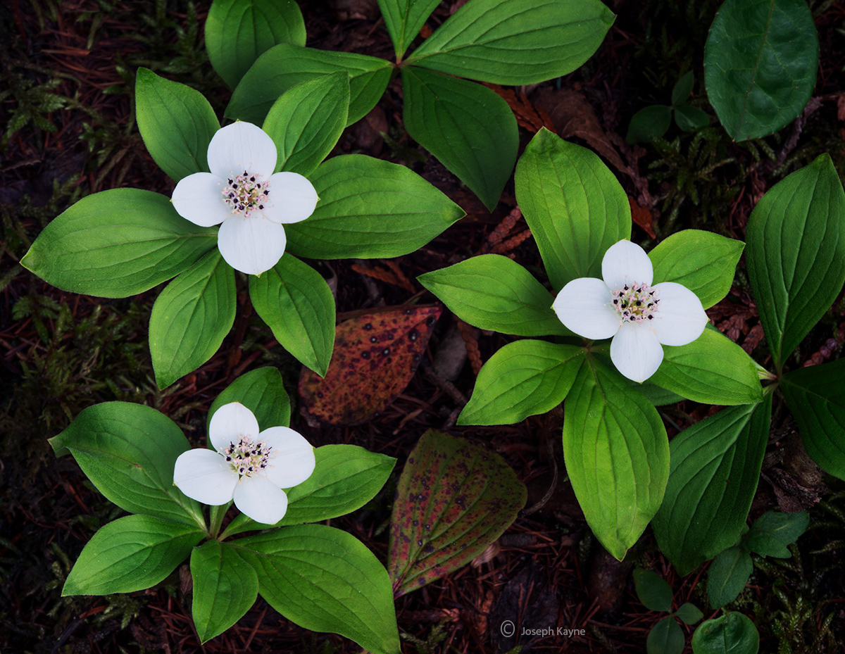 wild,bunchberry,native,wildflower,boreal,forest,northwoods,wisconsin, photo