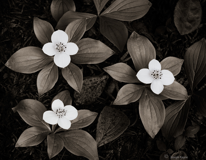 wild,bunchberry,native,wildflowers,boreal,forest,northwoods, photo