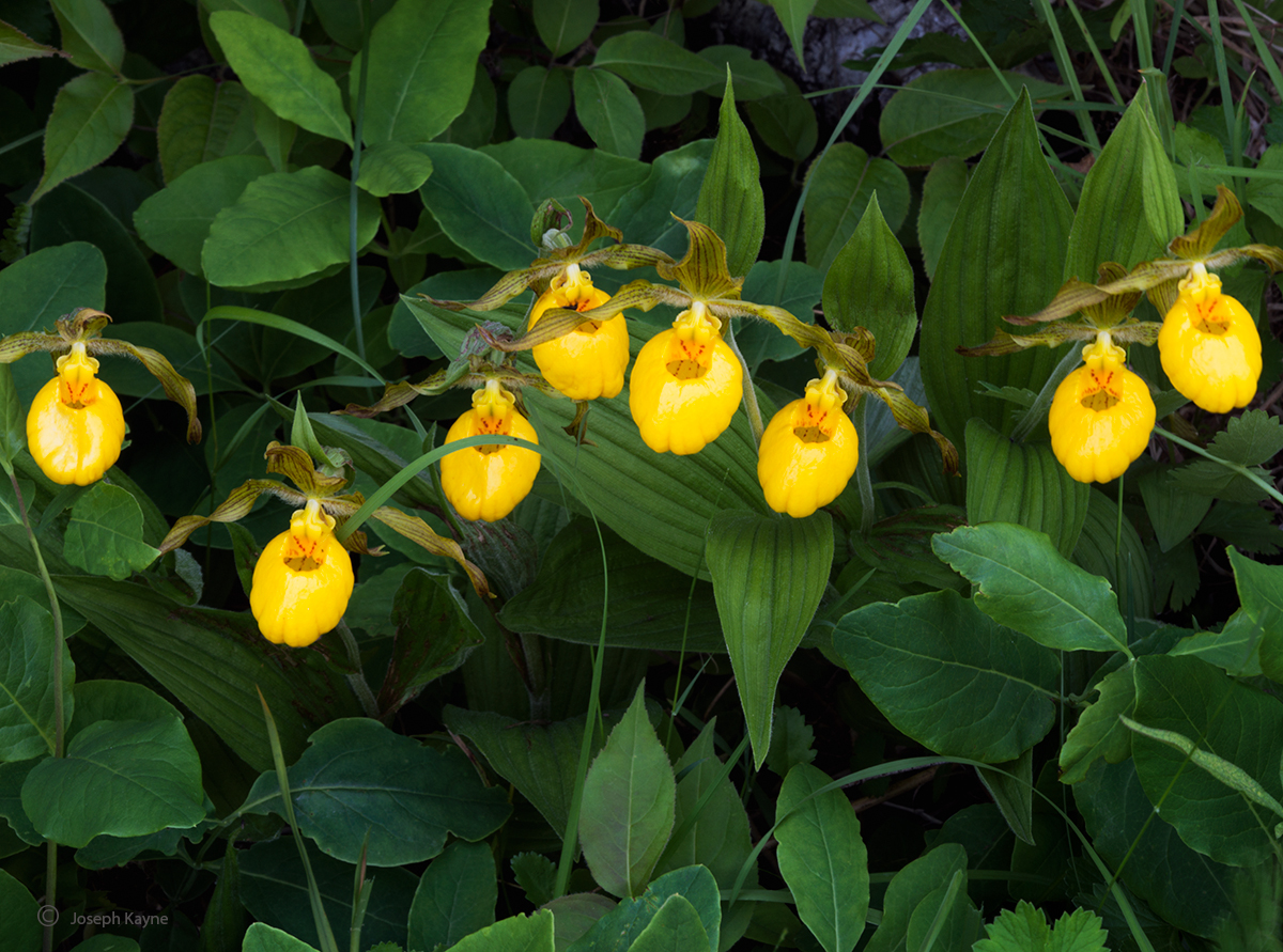wild,yellow,lady,slipper,orchids,door,county,wisconsin,native,wildflowers, photo