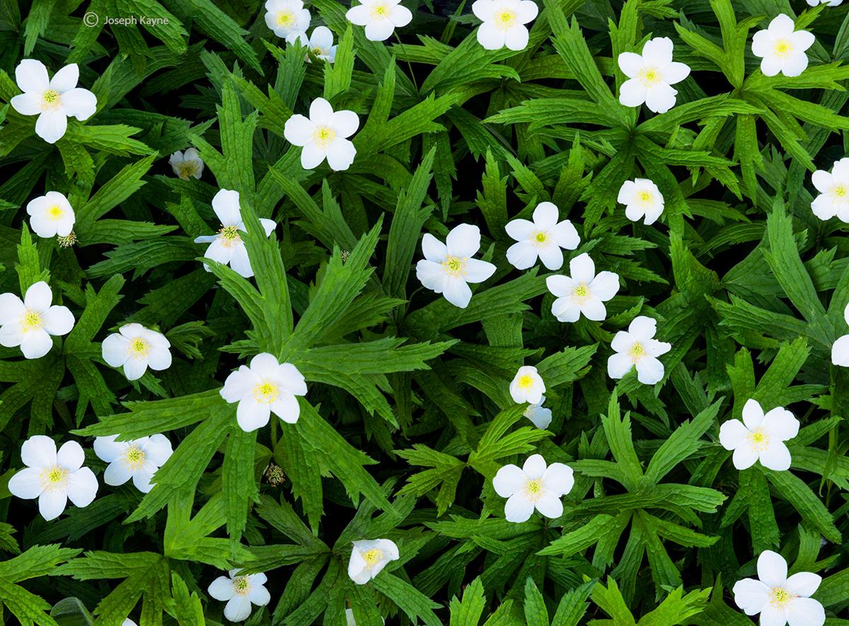 wild,meadow,anemone,wisconsin,door,county,wildflower, photo
