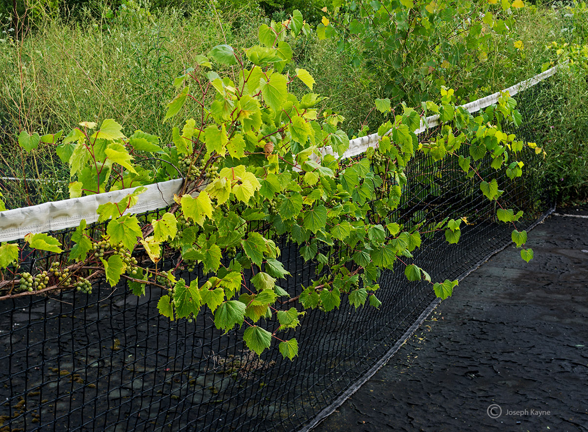 on,the,vine,abandoned,tennis,court, photo