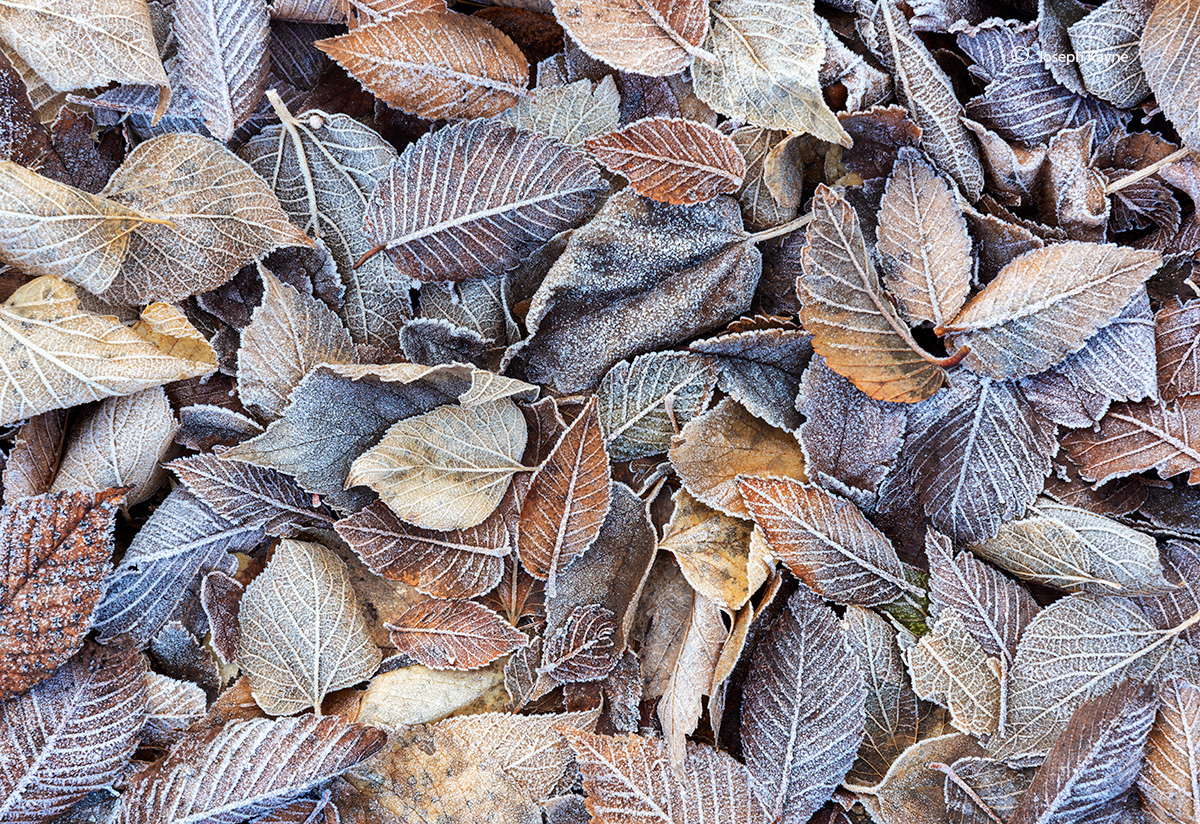 fall,frosted,elm,leaves,winter,Indiana