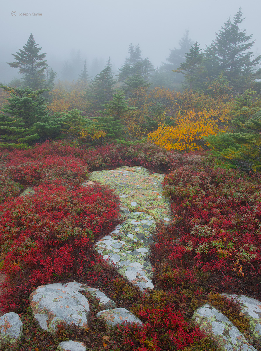 Autumn Blueberry Plants in Fog,Acadian National Park