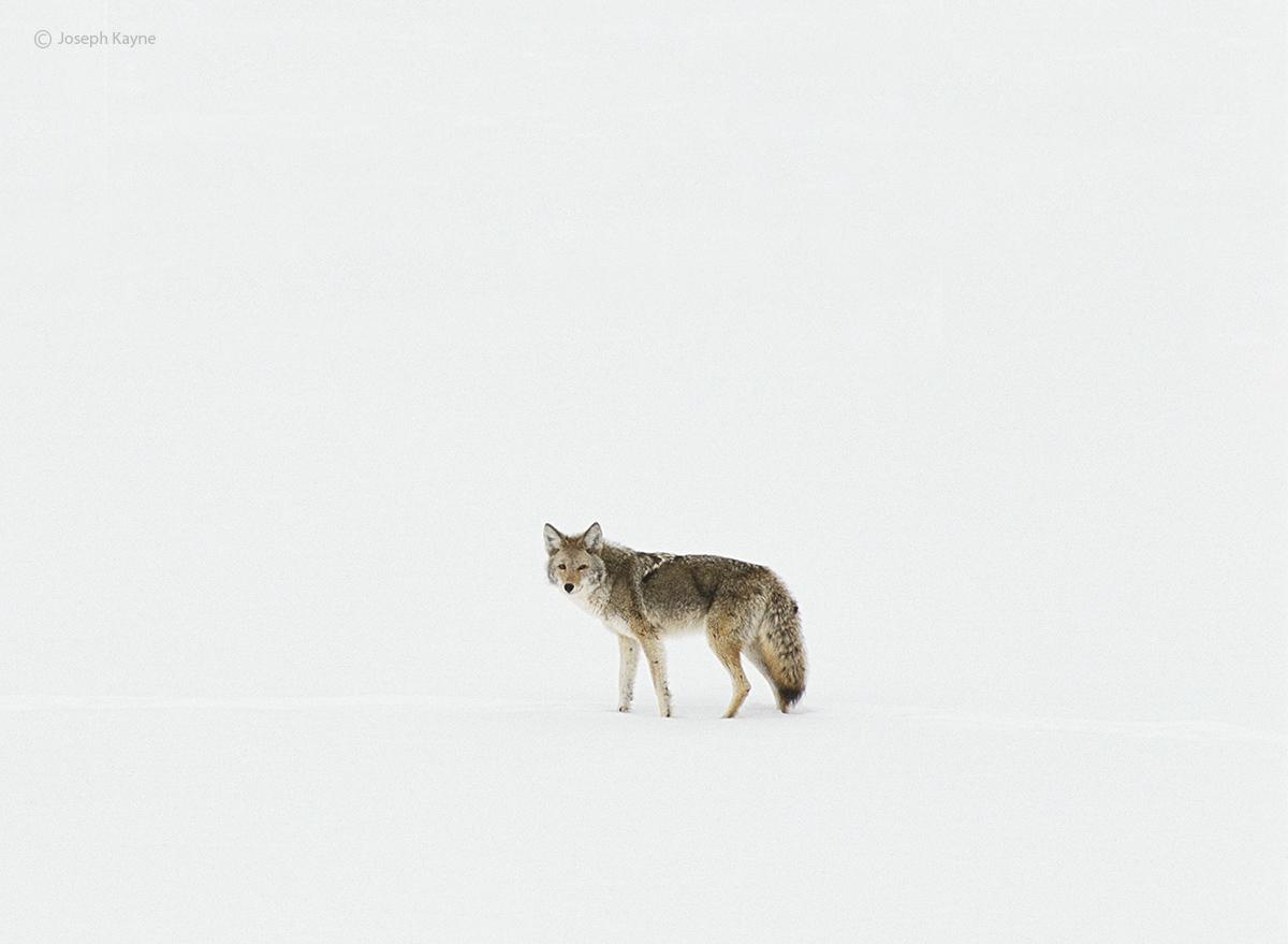 winter,stare,wyoming,coyote,yellowstone,national,park, photo