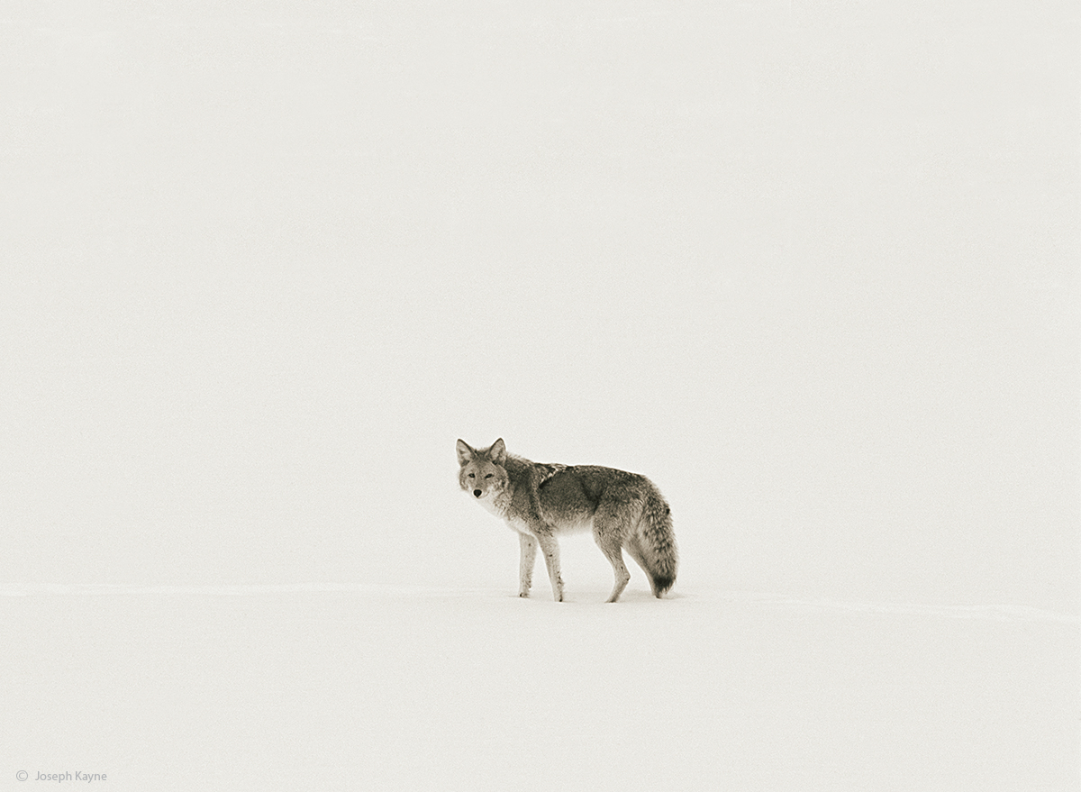 the,song,dog,wyoming,winter,yellowstone,national,park, photo