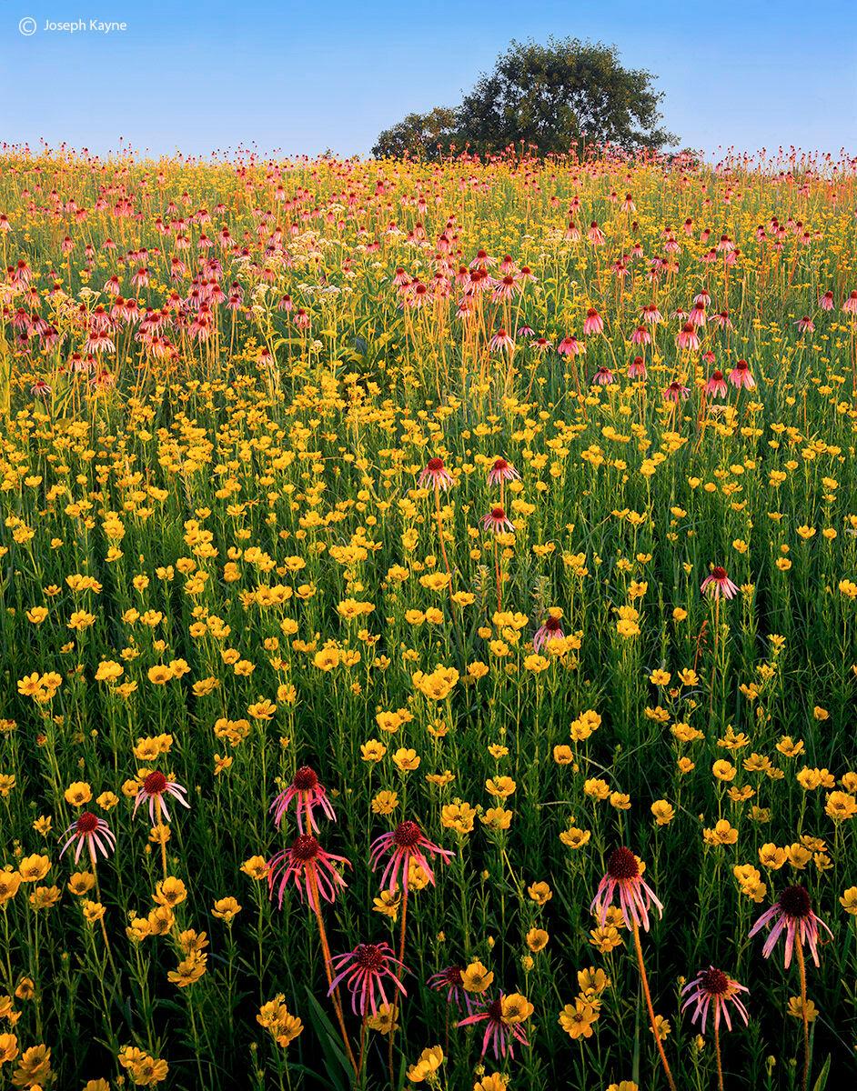 Illinois,tallgrass,prairie,wildflowers,fruit, photo