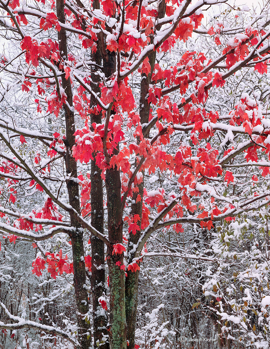 resistance,illinois,red,maple,winter, photo