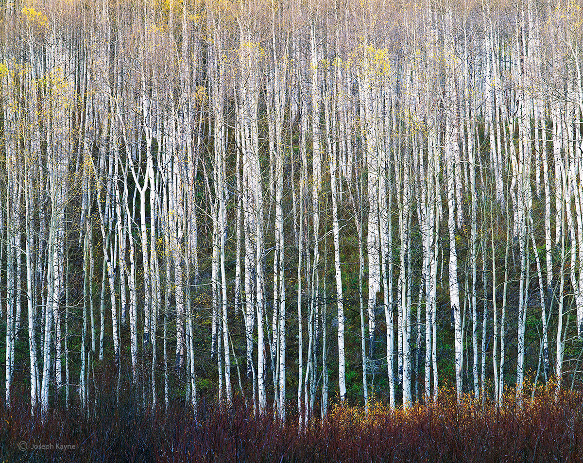 Hibernation,aspen,boles,late,autumn,colorado, photo