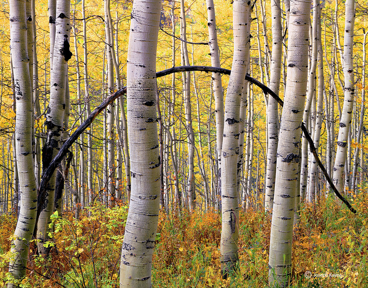 aspen,bow,colorado,autumn,mountains, photo